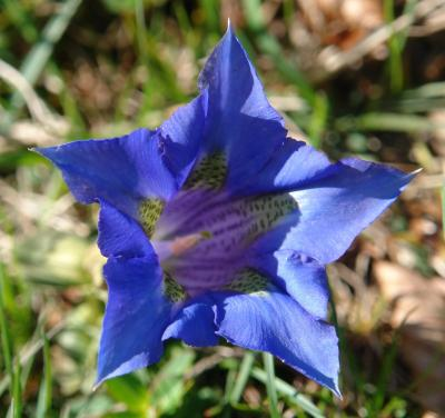 Gentiana occidentalis